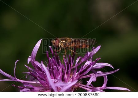 Hoverfly is sitting on a beautiful burdock flower. Animals in wildlife.