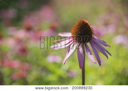 Echiacea or Coneflowers in the sunshine, Eden project , Cornwall, UK