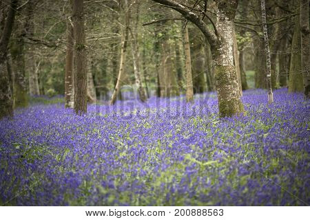 Bluebells in the springtime at Lanhydrock House, Cornwall, UK