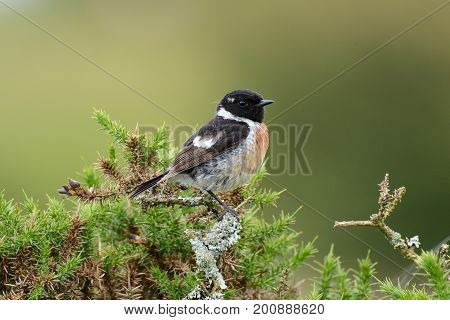Stonechat sat in a gorse bush ,Cornwall, uk
