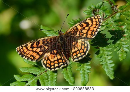 heath fritillary butterfly in the sun on fern leaf, cornwall, uk