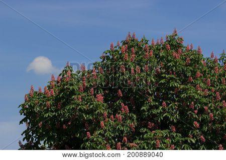 Red horse-chestnut, Aesculus carnea, hybrid Aesculus hippocastanum