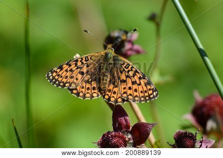 Small perl bordered fritillary butterfly, cornwall, uk