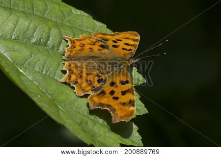 Comma butterfly at rest on leaf in the sunshine