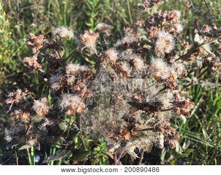 Brown Weed With Spider Webs In The Everglades