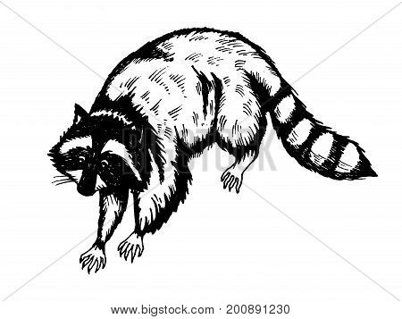 Raccoon engraving vector illustration. Scratch board style imitation. Hand drawn image.
