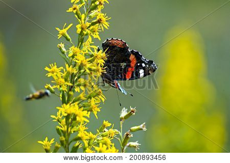Red admiral butterfly (Vanessa atalanta) sitting on a flower