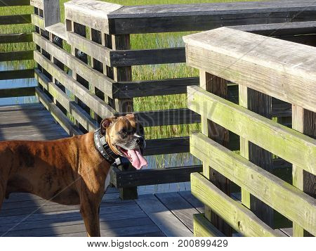 Boxer Dog On A Dock In The Summer