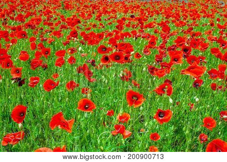 Field full of flowering poppies with their blood-red petals Full frame