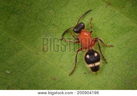 macro image of a hairy velvet ant