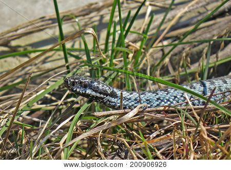 Closeup European adder (lat.Vipera berus). Venomous snake. Snake the is preparing to attack. Venomous snake on the in the swamp. Wild nature.