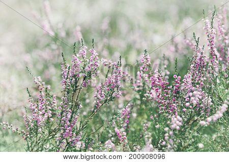 Blooming heather (calluna vulgaris erica ling) in forest.