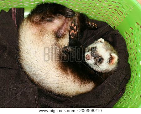 The ferret curled up in a basket. Animals.