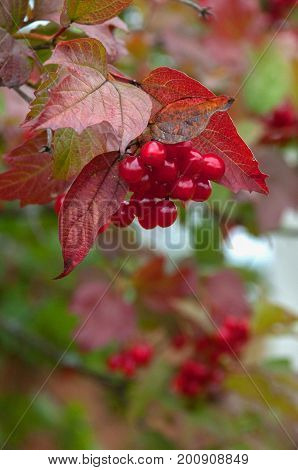 Bunch of red rowan in autumn surrounded by red leaves