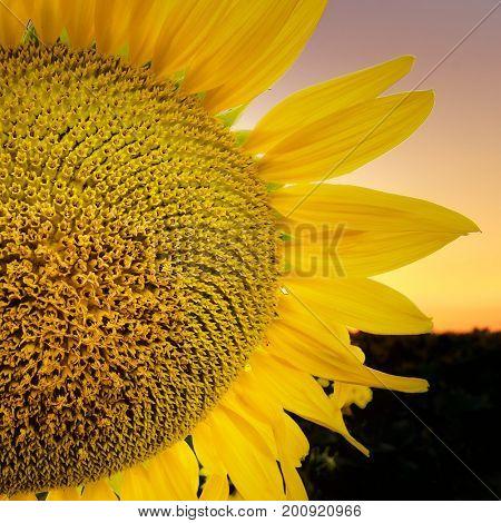 Sunflower flower close-up / evening photo nature at dusk field of ukraine