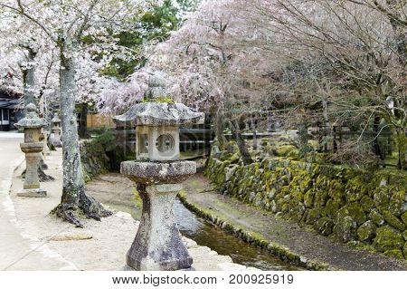 Blossoming cherry tree in Itsukushima Shrine on Miyajima island, at the city of Hatsukaichi in Hiroshima Prefecture in Japan.