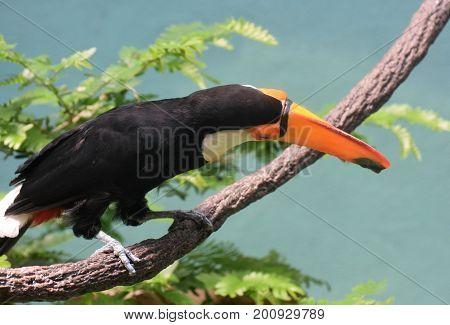 Tropical toucan sitting on a thick fine above a tree.