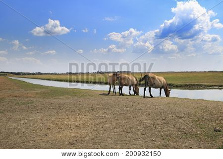 Three Przewalski's horses at watering place in Askania-Nova national reserve