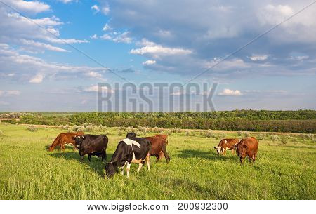 Livestock Grazing During Sunset In An Idyllic Valley