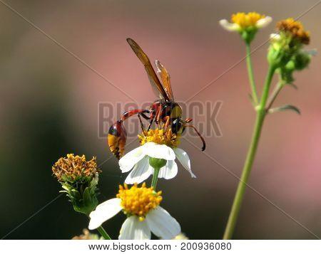 white flower nectar mandarinia insect bee apoidea