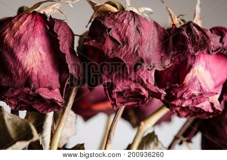 Close up of the drooping dead flowerheads of red roses on stems.