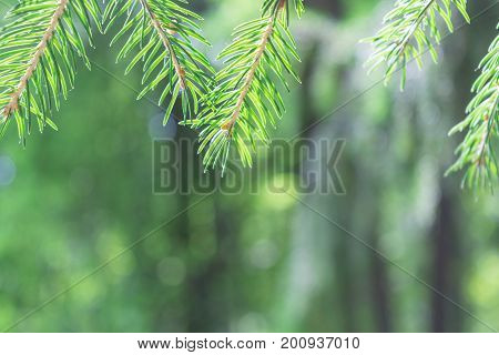 In the foreground on top of the branches of pine or spruce. The background is blurred. On the green branches of spruce needles are visible. Bottom empty space for text.