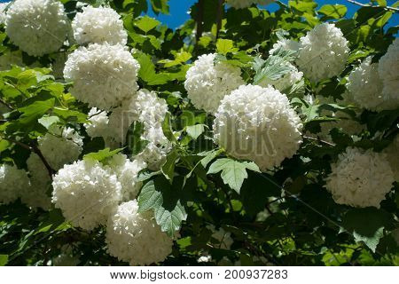 Globular Flower Heads Of Snow Ball Bush