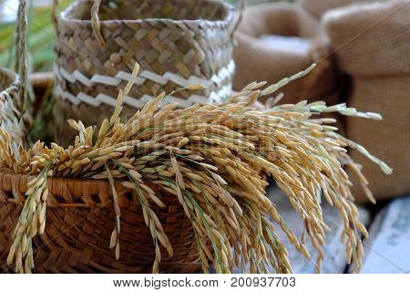 Paddy Grain And Rice Seed