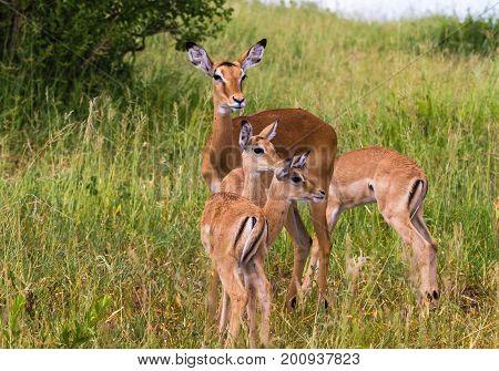 Small family of impalas. Tarangire, Tanzania, Africa