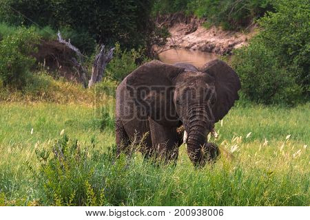 Big elephant in green savanna. Tarangire, Tanzania