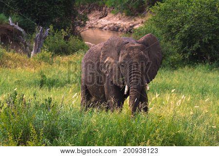 Very big elephant in green savanna. Tarangire, Tanzania