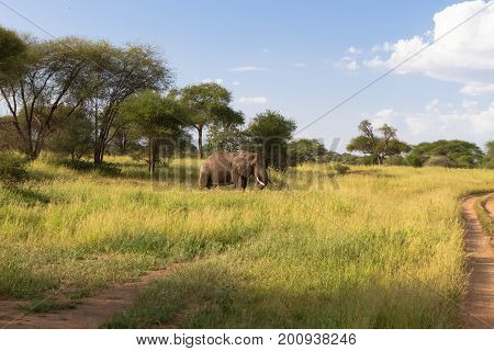 Big lonely elephant in green savanna. Tarangire, Tanzania