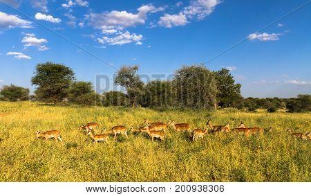 Large herd of impalas. Tarangire, Tanzania, Africa