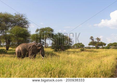 Landscape with big elephant in green savanna. Tarangire, Tanzania