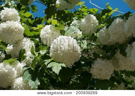 Viburnum Opulus Sterilis In Full Bloom In Spring