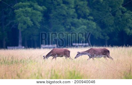 Hinds Walking On Meadow