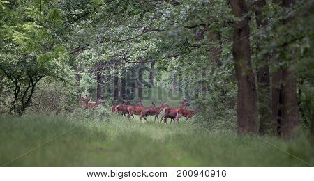 Hinds Walking In Forest