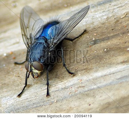Common fly up close on wood board