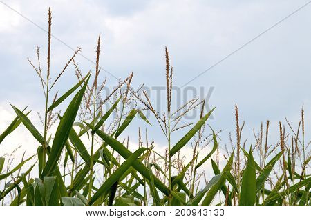 Close up of cornfield in the summer time