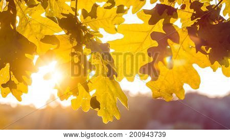 Yellow oak tree leaves in warm sun light. Backlit flares through the foliage..