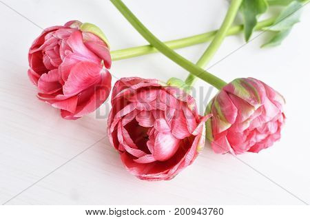 bouquet of three spring pink terry tulips, white background