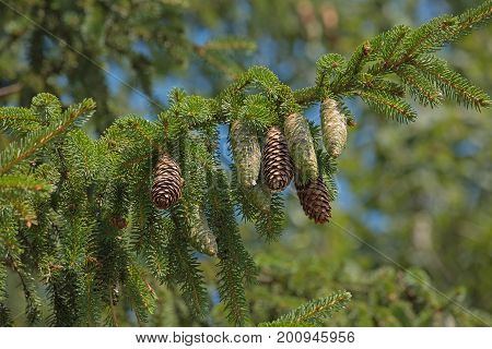 Young fir cones and last year's hanging on the tree. Cones with resin. The oleoresin flows down drops down. Natural background with fir branch.