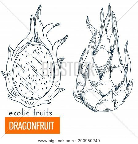Dragonfruit. Hand drawn vector illustration, vintage enngraving style.