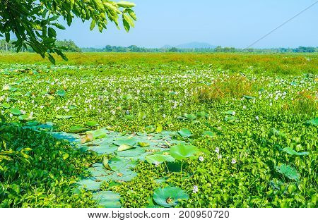 Water Lily On Freshwater Swamp