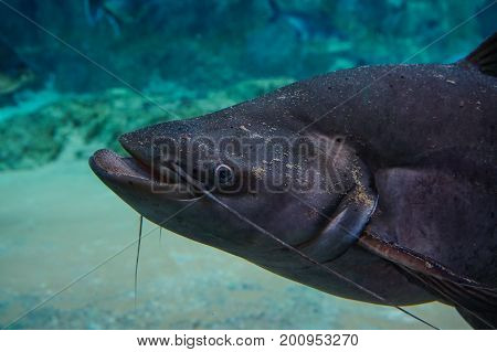 Catfish Swimming On The Pond