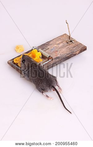 Common house mouse (Mus musculus) killed in a spring-loaded bar snap trap on a tile white background vertical