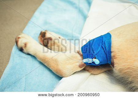 Paw of the dog with infusion. Old labrador retriever in veterinary clinic.