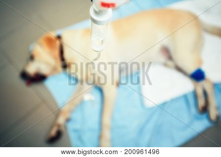 Labrador retriever in veterinary clinic. Old ill dog with infusion. - selective focus
