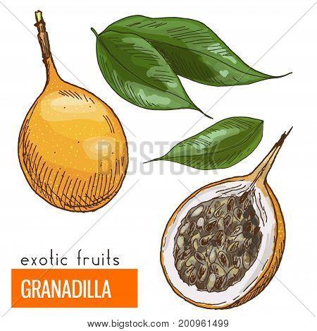 Granadilla. Full color realistic hand drawn vector illustration.
