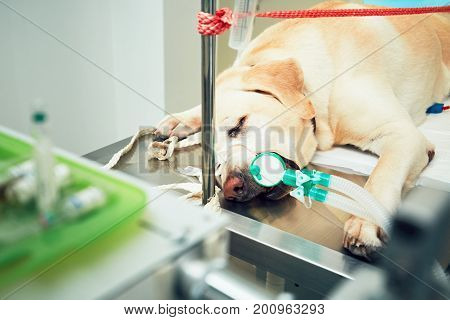 Old labrador retriever in animal hospital. Dog attached to a breathing device is ready for tumor surgery.